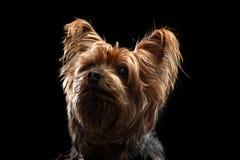 Leuke Bruine Yorkie Zijdeachtig Mutt Looking Up Stock Foto's