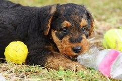 Leuke brutale speelse de hond van Airedale Terrier van het huisdierenpuppy het spelen bal Royalty-vrije Stock Fotografie