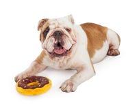 Leuke Buldog die met een Doughnutstuk speelgoed leggen Royalty-vrije Stock Foto