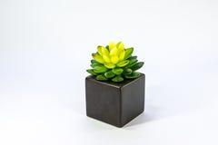 Leuke cactus Stock Foto