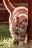 Leuke Cat Rubbing Fence in Yard stock afbeeldingen