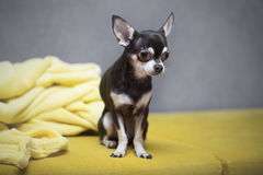 Leuke Chihuahua Royalty-vrije Stock Foto's