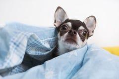 Leuke Chihuahua Royalty-vrije Stock Fotografie