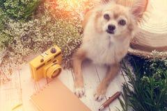 Leuke chihuahua de bruine hondzitting met bloemnotitieboekje ontspant kwam Royalty-vrije Stock Afbeeldingen
