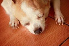 Leuke chihuahua die een dutje nemen Royalty-vrije Stock Foto's