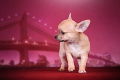 Leuke Chihuahua op de nacht van de brug stock foto's