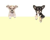 Leuke chihuahuahonden die over een geel document hangen Royalty-vrije Stock Afbeelding