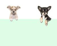 Leuke chihuahuahonden die over een Groenboekgrens hangen Stock Afbeeldingen