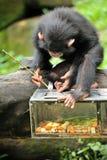 Leuke chimpansee Stock Afbeelding