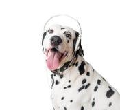 Leuke Dalmatische hond in hoofdtelefoons en kraag Royalty-vrije Stock Foto's
