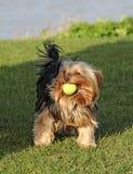 Leuke de terriërhond van Yorkshire met bal Stock Foto