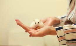 Leuke de Winter Witte Dwerghamster die okkernoot op eigenaar` s handen eten De de Winter Witte Hamster is ook genoemd geworden de stock foto's