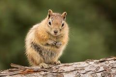 Leuke die Aardeekhoorn goed op noten en zaden wordt gevoed Royalty-vrije Stock Fotografie