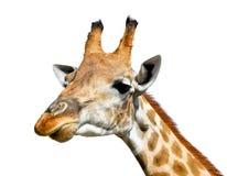 Leuke die giraf op witte achtergrond wordt geïsoleerd stock afbeeldingen