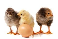 Leuke drie weinig die kip met ei op witte achtergrond wordt geïsoleerd stock fotografie