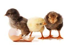 Leuke drie weinig die kip met eierschaal op witte achtergrond wordt geïsoleerd stock afbeeldingen