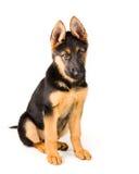 Leuke Duitse de herderszitting van de puppyhond neer Stock Afbeelding
