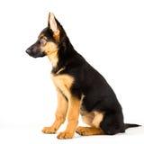 Leuke Duitse de herderszitting van de puppyhond neer Royalty-vrije Stock Foto