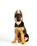 Leuke Duitse de herderszitting van de puppyhond neer Royalty-vrije Stock Afbeeldingen