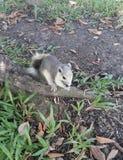 Leuke eekhoorn Stock Afbeeldingen