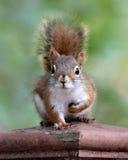 Leuke eekhoorn Stock Afbeelding