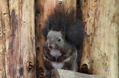 Leuke eekhoorn Royalty-vrije Stock Foto