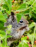 Leuke Eekhoorn die een Bes houden royalty-vrije stock afbeelding
