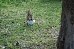 Leuke eekhoorn die een braambes voeden royalty-vrije stock afbeelding
