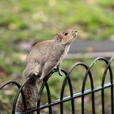 Leuke eekhoorn die zich op de omheining bevinden Royalty-vrije Stock Afbeeldingen