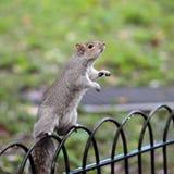 Leuke eekhoorn die zich op zijn achterste benen bevinden Royalty-vrije Stock Foto's