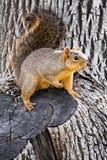 Leuke eekhoorn op de bodem van de boom Stock Afbeeldingen