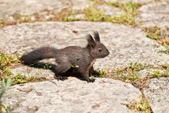Leuke eekhoorn op rotsen stock foto's