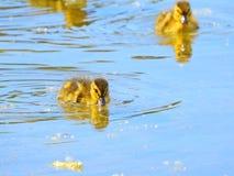 Leuke eendjes die in het meer zwemmen stock afbeelding