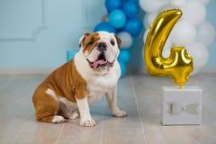 Leuke Engelse buldog die zijn 4 de hond gelukkige zitting van de verjaardagspartij in studioprestaties vieren Royalty-vrije Stock Foto's