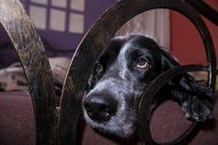 Leuke Engelse Zetterhond die in een bed liggen Stock Fotografie