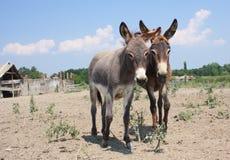 Leuke ezel twee in het landelijke landbouwbedrijf Royalty-vrije Stock Afbeeldingen