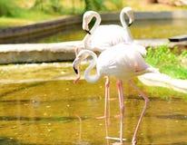 Leuke flamingo's stock afbeeldingen
