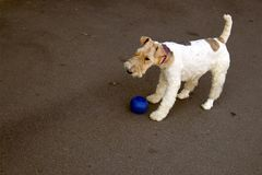 Leuke fox-terrier met verbonden poten die ter plaatse blijven stock foto