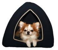Leuke geïsoleerdee chihuahua in het hondbed Stock Foto