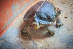 Leuke geel-Geleide tempelschildpad in het landbouwbedrijf Geel-geleid Royalty-vrije Stock Fotografie