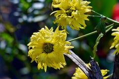 Leuke Gele Chrysantenbloemen in de tuin Stock Fotografie