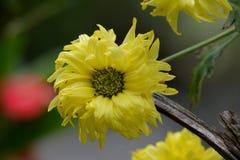 Leuke Gele Chrysantenbloemen in de tuin Royalty-vrije Stock Afbeeldingen