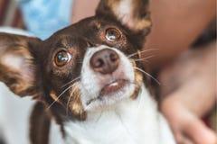 Leuke gelukkige grappige hond in de wapens van een maitresse royalty-vrije stock afbeeldingen