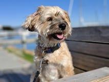 Leuke gelukkige het glimlachen hond die weg aan de kant in de jachthaven kijken stock foto's