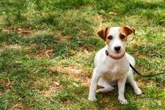 Leuke gelukkige het huisdierenhond van het hefboom russel puppy op het gras stock afbeelding
