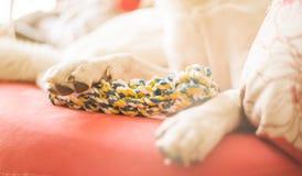 Leuke gemengde rassen witte en bruine hond die op een heldere bank thuis met een stuk speelgoed leggen Stock Fotografie