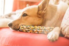 Leuke gemengde rassen witte en bruine hond die op een heldere bank thuis met een stuk speelgoed leggen Royalty-vrije Stock Fotografie