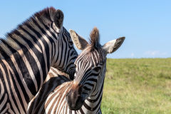 Leuke Gestreepte Equus burchelli van zebrasburchell ` s, Oostelijke Kaap, Zuid-Afrika Stock Fotografie
