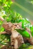 Leuke gestreepte kat Kitten Relaxing royalty-vrije stock foto