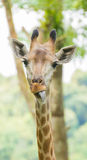 Leuke Giraf Stock Afbeeldingen